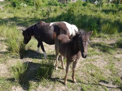Groussay_poney