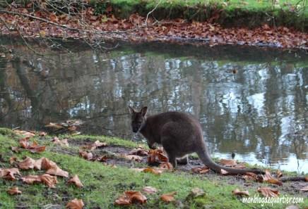 Animaux-sauvage-Kangourous